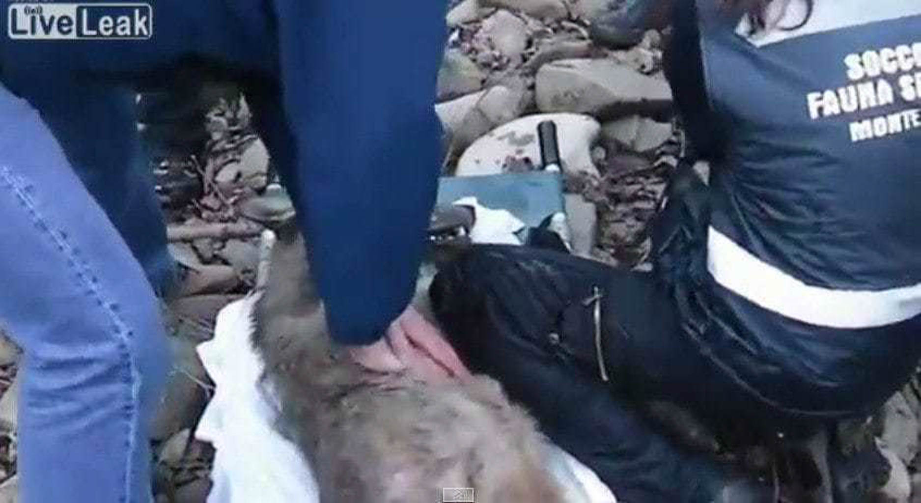 The story of Sisyphos: Injured wolf rescued in Italy