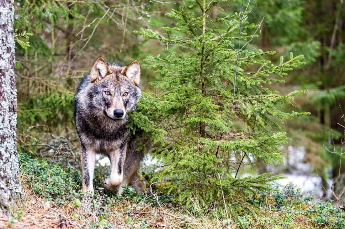 Story of a wolf hunt